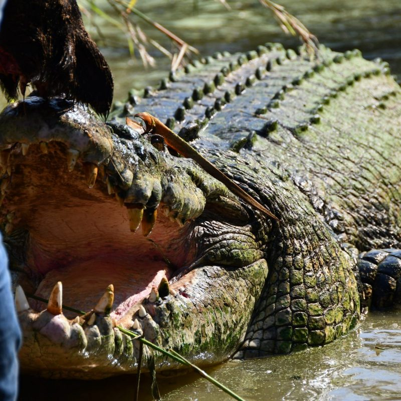 Up close and personal with the crocs of the outback